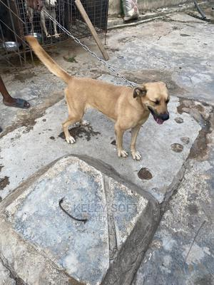 1+ Year Female Purebred Boerboel | Dogs & Puppies for sale in Osun State, Osogbo