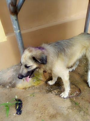 1+ Year Male Mixed Breed Caucasian Shepherd | Dogs & Puppies for sale in Ogun State, Ifo