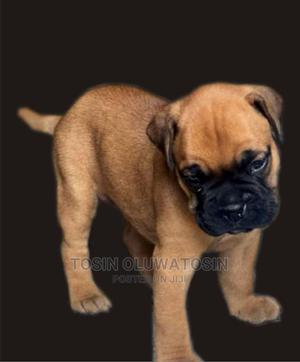 1-3 Month Female Purebred Bullmastiff | Dogs & Puppies for sale in Lagos State, Ikeja