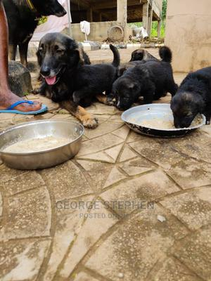 0-1 Month Female Mixed Breed Caucasian Shepherd | Dogs & Puppies for sale in Oyo State, Ibadan