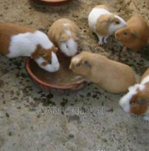 Guinea Pigs For Sale Per Colony | Livestock & Poultry for sale in Bayelsa State, Yenagoa