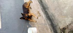1+ Year Male Purebred German Shepherd | Dogs & Puppies for sale in Imo State, Owerri