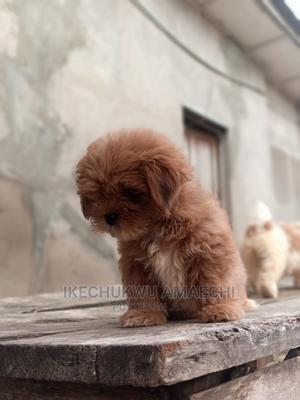 1-3 Month Male Purebred Lhasa Apso | Dogs & Puppies for sale in Ogun State, Abeokuta South
