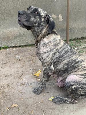 1+ Year Female Purebred Boerboel | Dogs & Puppies for sale in Lagos State, Agege