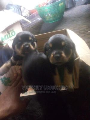 1-3 Month Male Purebred Rottweiler | Dogs & Puppies for sale in Lagos State, Apapa
