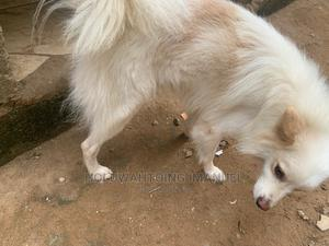 1+ Year Male Purebred American Eskimo   Dogs & Puppies for sale in Lagos State, Badagry