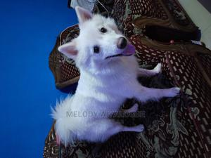 1+ Year Male Purebred American Eskimo   Dogs & Puppies for sale in Lagos State, Alimosho