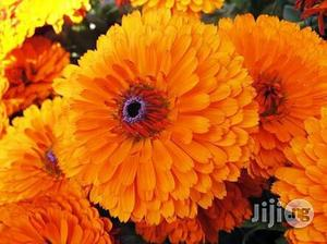 Marigold Flower Seedling | Feeds, Supplements & Seeds for sale in Plateau State, Jos