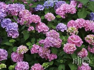 Hydrangea Flower Seedling | Feeds, Supplements & Seeds for sale in Plateau State, Jos