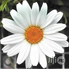 Daisy Flower Seedlings | Feeds, Supplements & Seeds for sale in Plateau State, Jos
