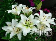 Lily Flower Seedlings | Feeds, Supplements & Seeds for sale in Plateau State, Jos