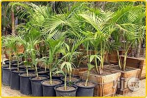 Kings Palm Garden And Ornamental Plants Decoration Plants   Garden for sale in Plateau State, Jos