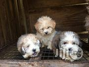 Cute Fluffy Lhasa Apso Pups   Dogs & Puppies for sale in Lagos State, Lekki Phase 2