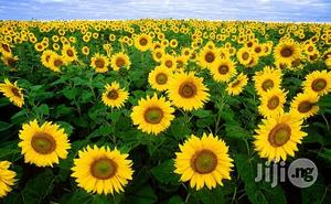 Sunflower Seeds Sun Flower Seeds | Feeds, Supplements & Seeds for sale in Plateau State, Jos