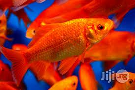 New Comet Goldfish For Fish Bowl And Aquariums | Fish for sale in Lagos State