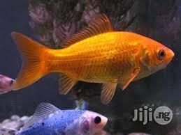 Goldfish For Fish Bowls And Aquariums For Sale | Fish for sale in Lagos State