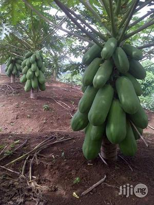 Asian Dwarf Pawpaw Seed | Feeds, Supplements & Seeds for sale in Abuja (FCT) State, Kubwa