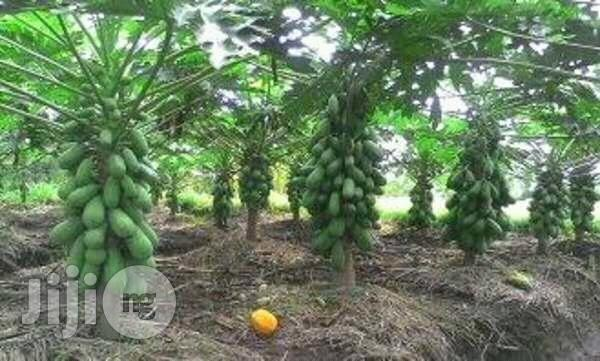 Asian Dwarf Pawpaw Seed | Feeds, Supplements & Seeds for sale in Kubwa, Abuja (FCT) State, Nigeria