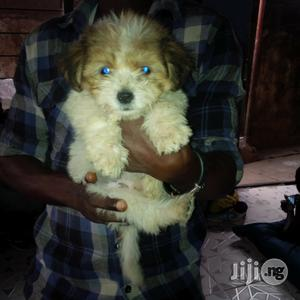 Cute Lahsa Puppy for Sale | Dogs & Puppies for sale in Abuja (FCT) State, Gwagwalada