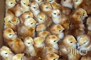 Layers Day Old Or Pullets | Livestock & Poultry for sale in Abuja (FCT) State, Lugbe District