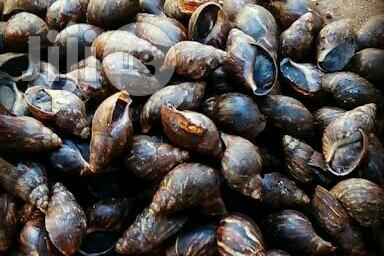 Archive: Giant African Land Snails For Sale