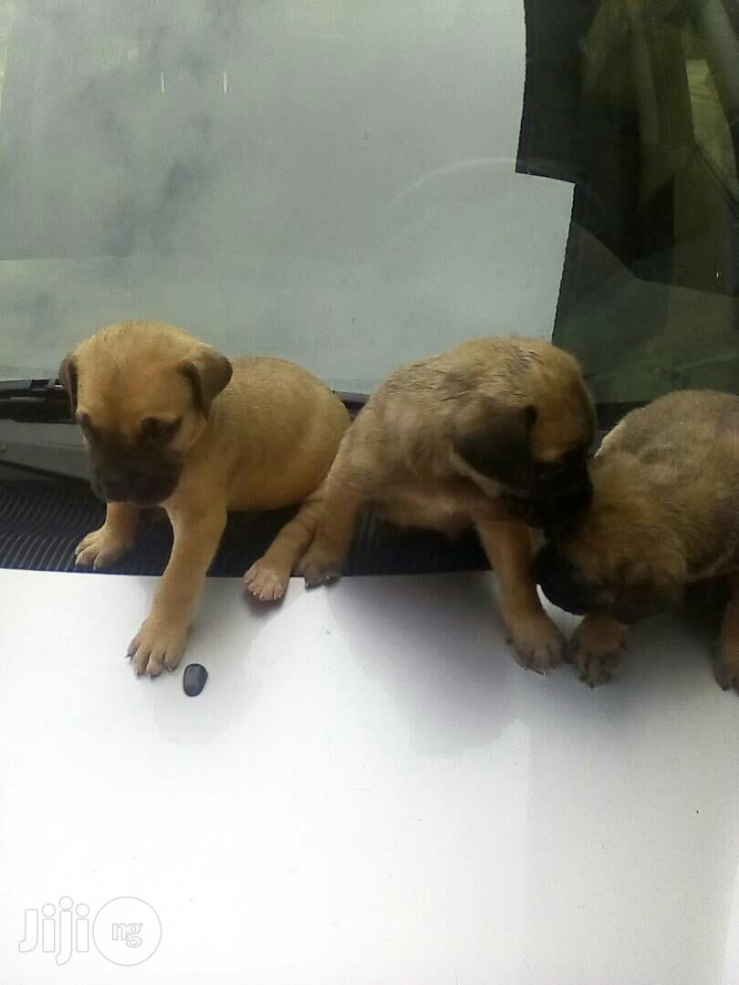 Boerboel Puppies Available For Sale | Dogs & Puppies for sale in Ibadan, Oyo State, Nigeria